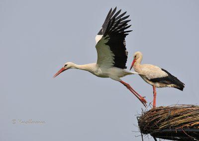 Ooievaar_White Stork_Ciconia-Ciconia_039