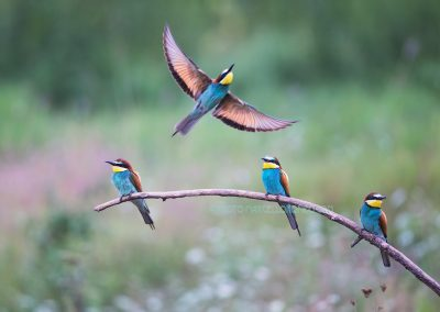 Bee-eaters resting on a branch while one flies off