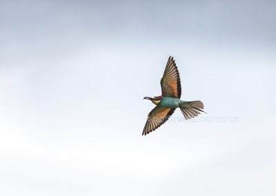 Flying Bee-eater