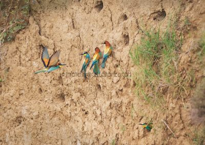 Bee-eaters close to their nest cavity