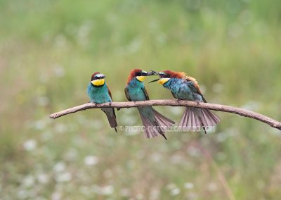 Bee-eaters on a branch seem to have a difference of opinion…