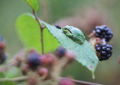 European Tree frog (Hyla arborea) resting on a leaf of a blackberry bush