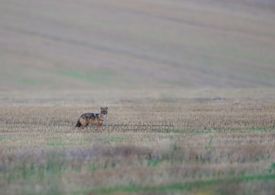 Golden Jackal in the threshed cornfield
