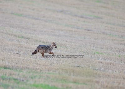 Goldjackal running over the threshed cornfield