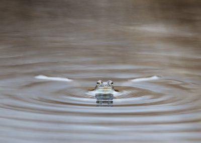 Moore Frog