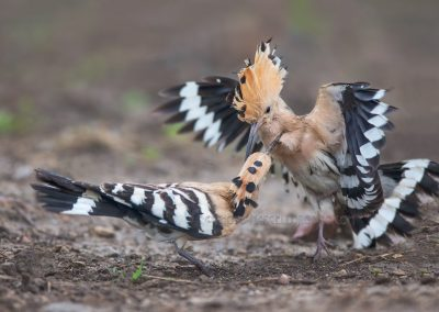 Earasian Hoopoes (Upupa epops) fighting for the best food place…