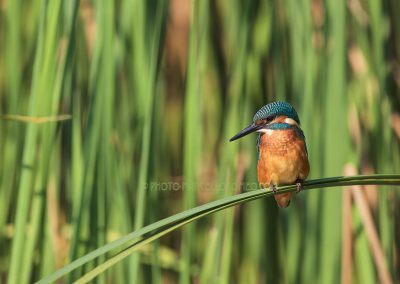 Young kingfisher male looking for a prey to catch