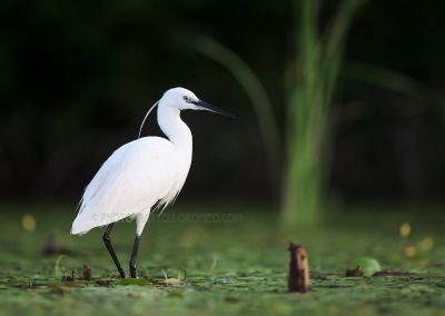 Little Egret standing in the water lilies