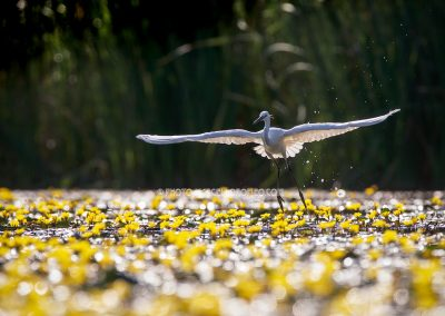 Little Egret flies up from the water lilies in backlight during fishing