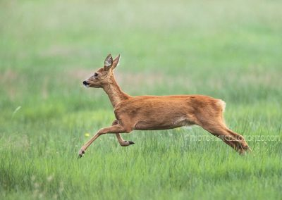 Roe Deer goat jumps off after fouraging