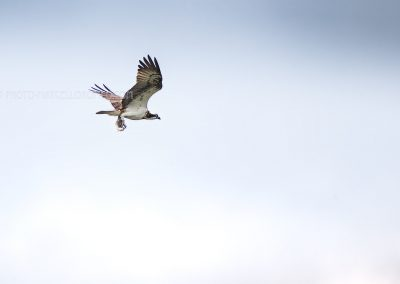 Osprey in flight with a fish in his claws