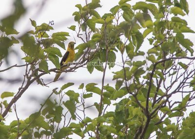 Golden Oriole male with a catched grasshopper