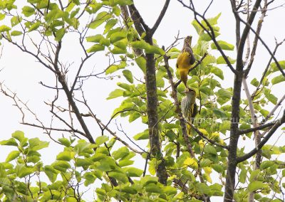 Male Golden Oriole feeds his young one with a mulberry