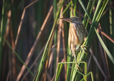 Little Bittern on the edge of the reedland