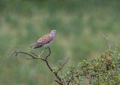 European Turtle Dove (Streptopelia turtur) resting