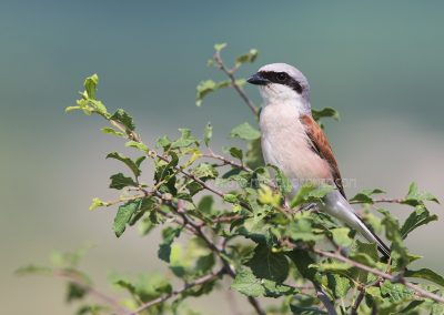 Male Red-backed Shrike at the top of a shrub