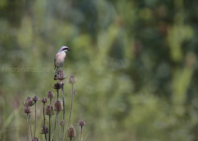 Red-backed Shrike at the top of thistle
