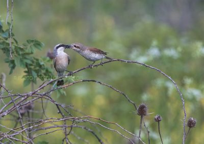 Red-backed Shrike male brings a prey to the female who would bring it into the nest