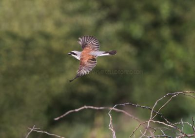 Red-backed Shrike male in flight