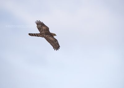 Juvenile Northern Goshawk in flight looking for a prey