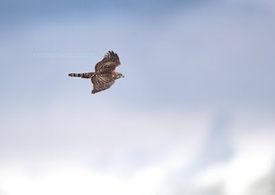 Juvenile Goshawk in flight