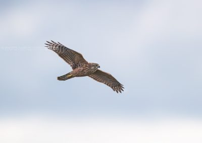 Juvenile Goshawk in flight looking for a prey