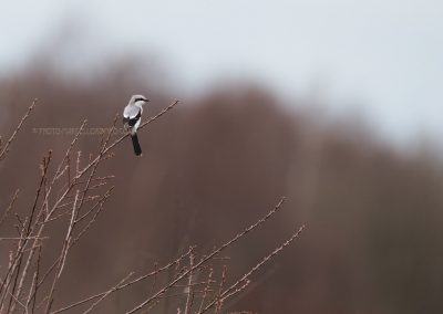 Great Grey Shrike sits on the the top of a tree branch loking for a prey