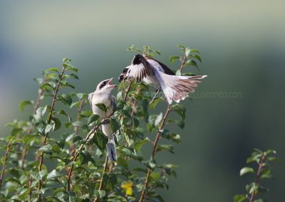 Lesser Grey Shrike juvenile feeded by one of the parents