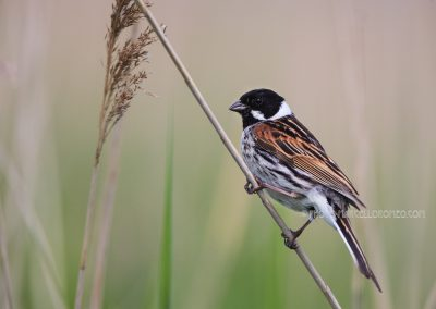 Common Reed Bunting male hanging on a reed stalk