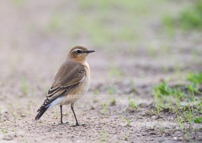 Northern Wheatear looks back during fouraging