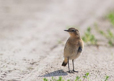 Northern Wheatear posing on the path in backlight for a split second
