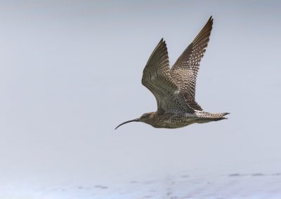 Flying Eurasian Curlew