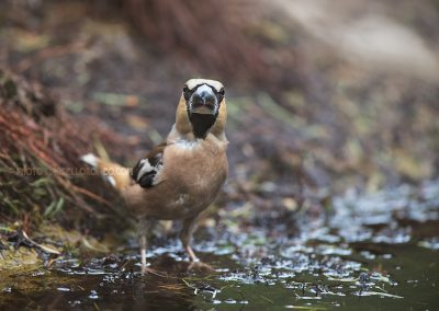 Hawfinch looks up during drinking