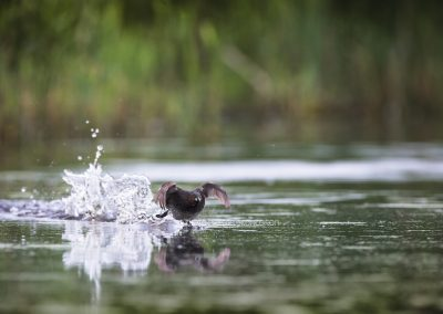 Little Grebe starts his run towards his rival who came to close to his territory…
