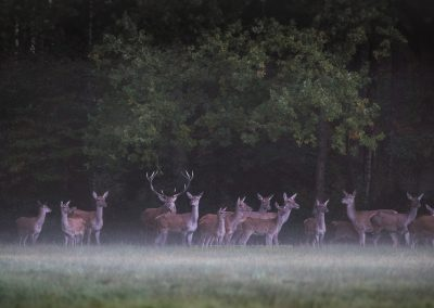 Red deer herd in free nature (no wildpark !) at first daylight during the deer rut