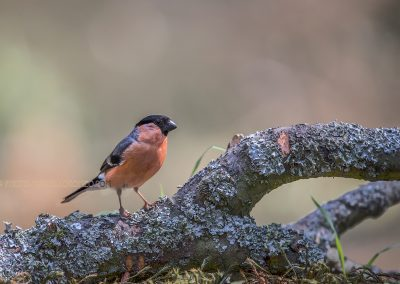 Bullfinch poses for a while…