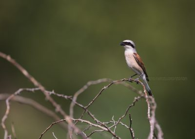 Male Red-backed Shrike sitting on a branch of a blackberry bush