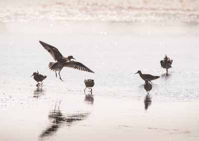 Ruffs foraging while one is landing