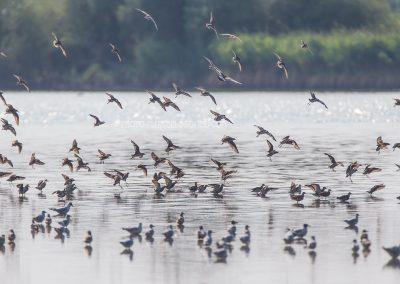 Group of ruffs landing in swallow water