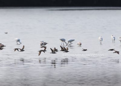 Group of Ruffs (Calidris pugnax) flying over a lake