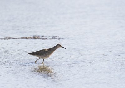 Curlew Sandpiper foraging in low water