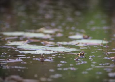 Grass Snake swimming