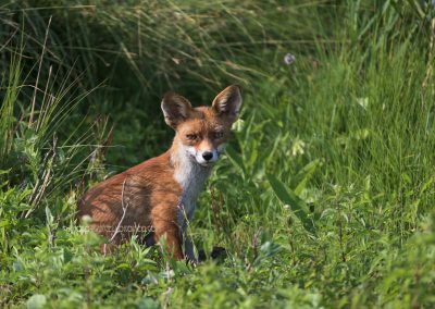 Young Red fox sits and stares…