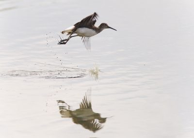 Green sandpiper flies up from the water