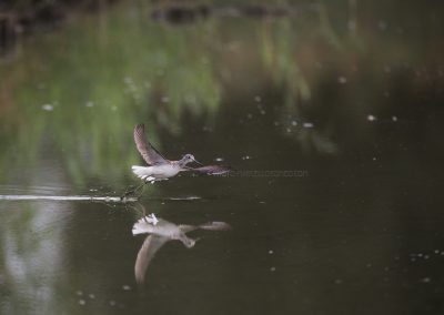 Green Sandpiper flies up after foraging