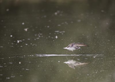 Green Sandpiper starts to fly up
