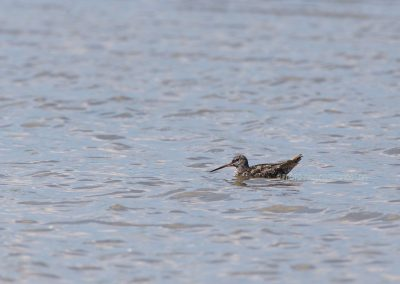 Spotted Redshank foraging