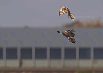 Two Hen Harriers making acrobatic antics…
