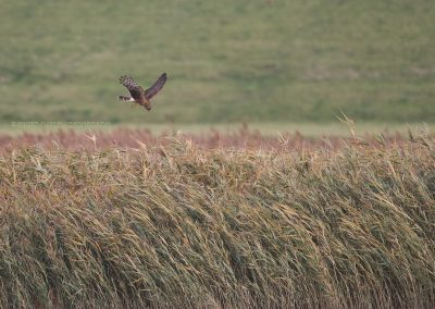 Hen Harrier hunting above the reedlands