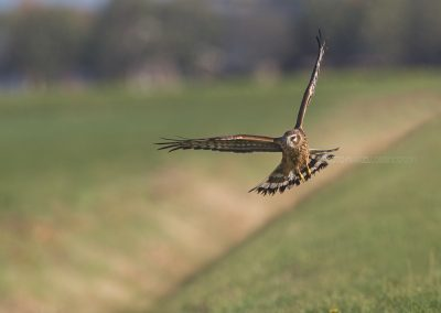 Hen Harrier hunting along a small ditch
